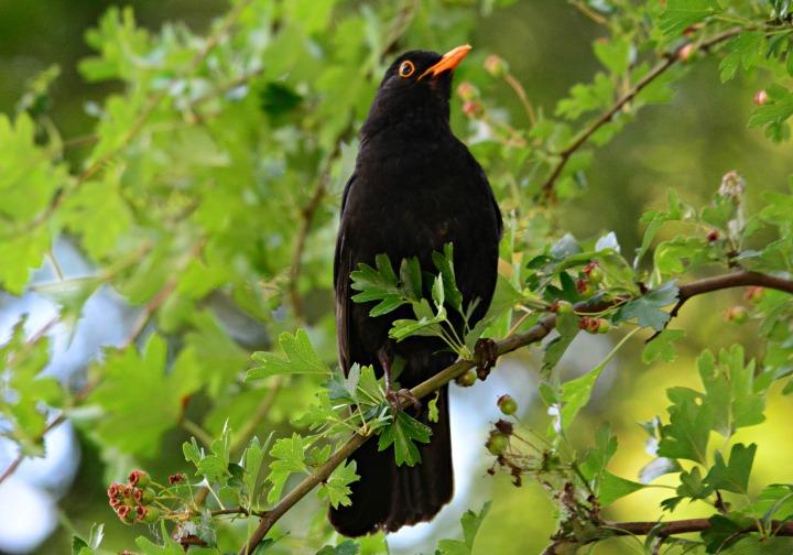 blackbird-4265545_1920